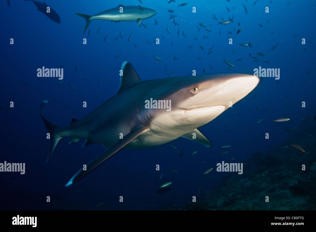 A large silvertip shark comes in close to look at the photographer, Fiji. - Stock Image