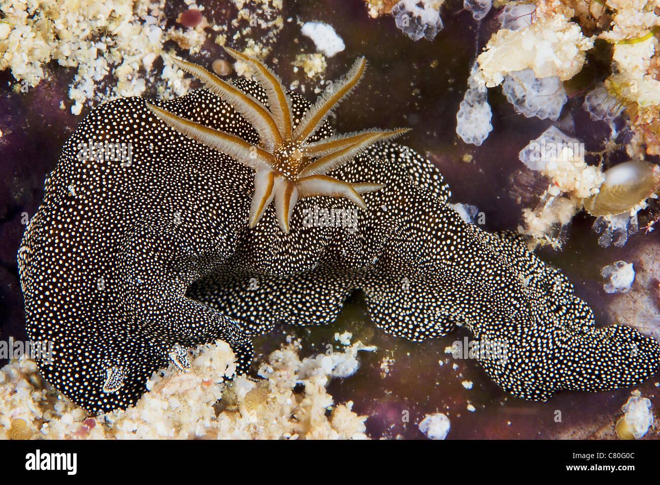Nudibranch feeding on algae, Papua New Guinea. - Stock Image