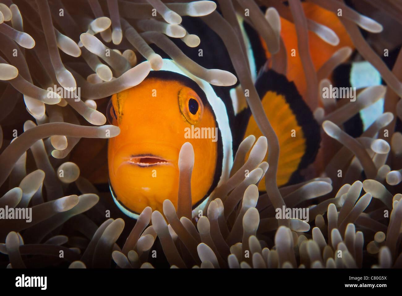 Percula Clownfish in its host anemone, Papua New Guinea. - Stock Image