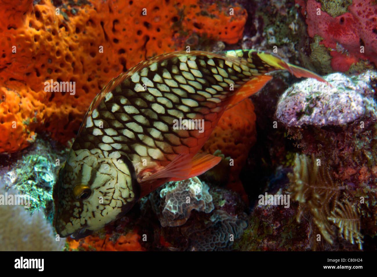 Stoplight parrotfish (Sparisoma viride) feeding off the coral reef in the Atlantic Ocean off the coast of Key Largo, - Stock Image