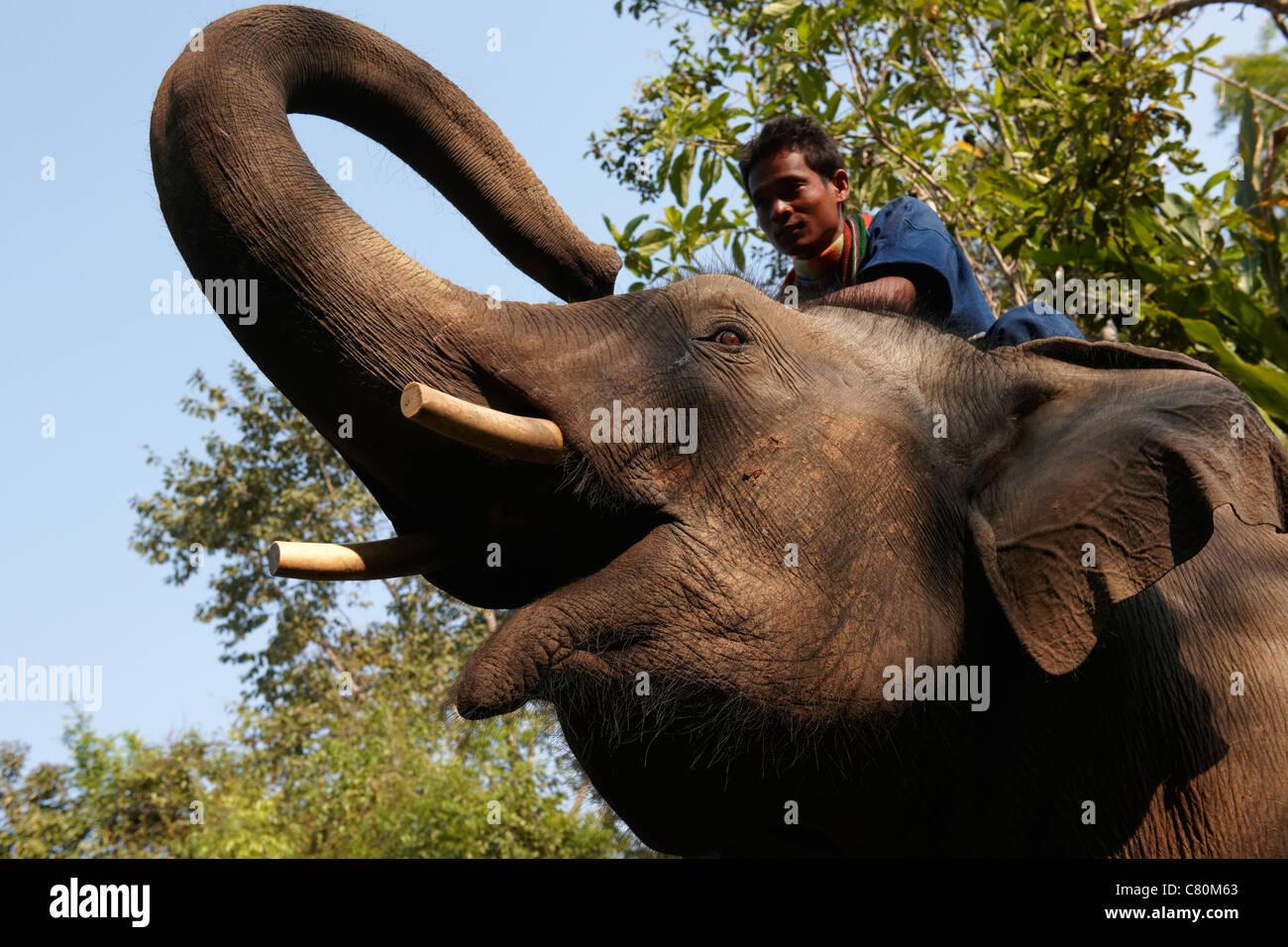 Thailand, Chiang Rai, Golden Triangle, Four Seasons Golden Jungle, Man Riding on Elephant - Stock Image