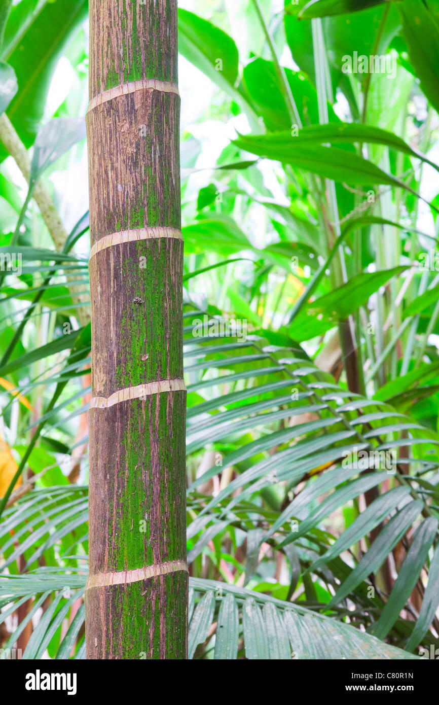 tropical pristine rain forest background, palm tree detail of exotic jungle purity and wild wilderness primary rainforest - Stock Image