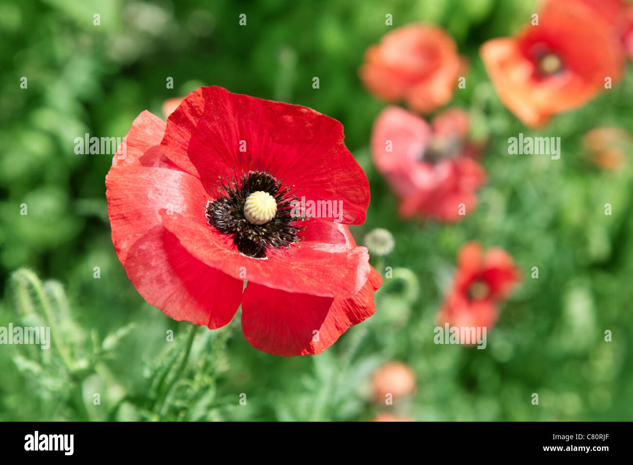 Close up shot of tender poppy flower. - Stock Image