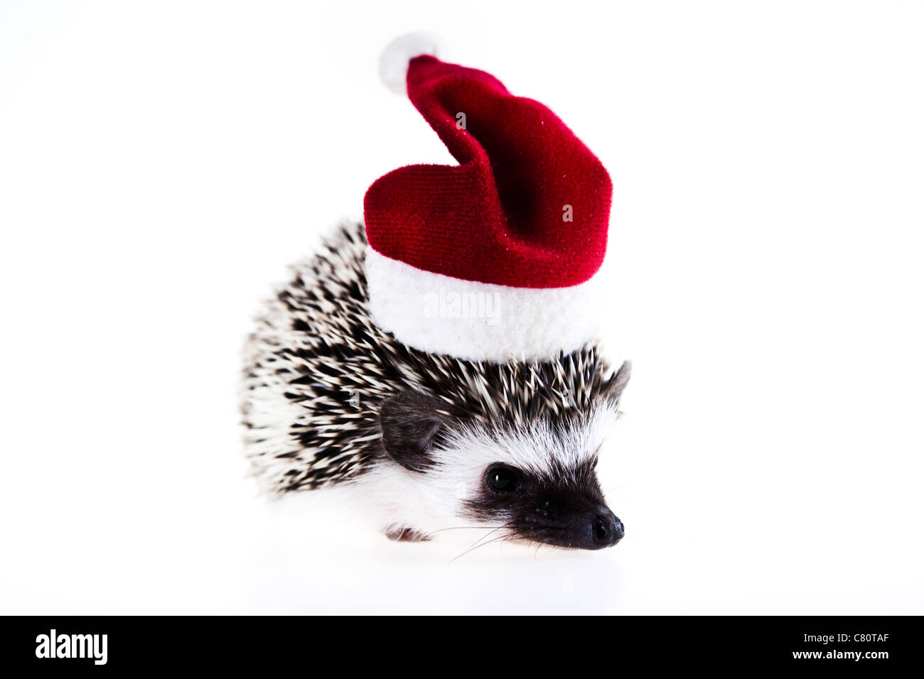 Hedgehog christmas - Stock Image