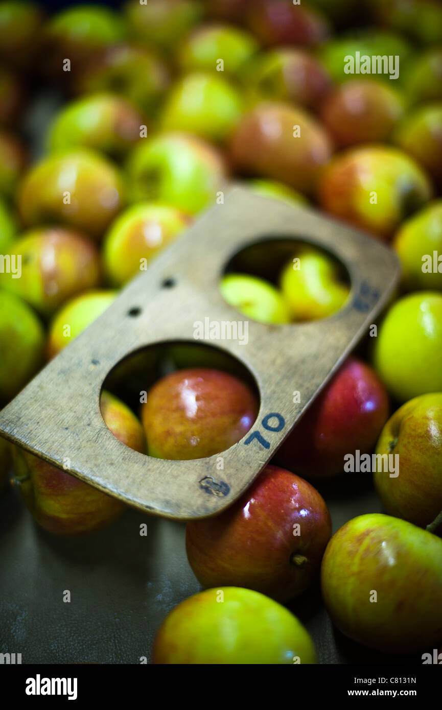 Apples being processed for packing with size grading tool in an English orchard warehouse - Stock Image