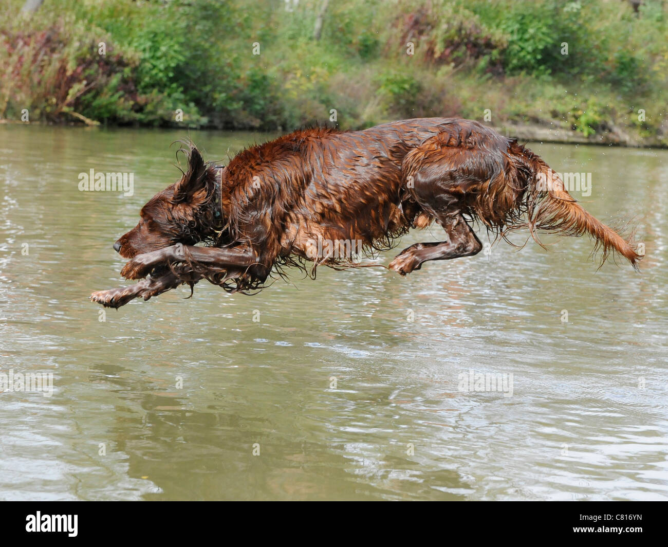 A red setter diving into a stream to have a swim Stock Photo