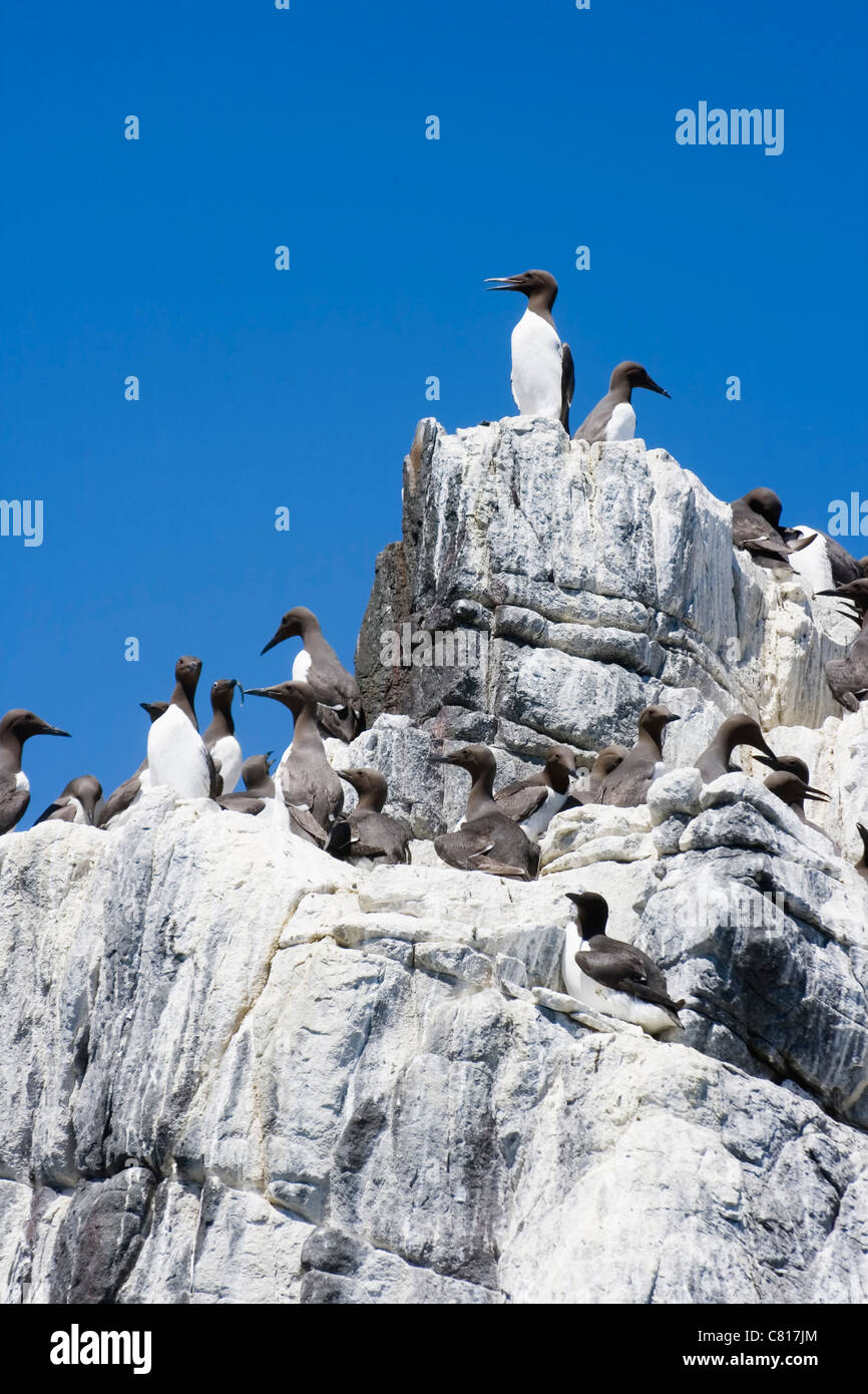 Colony of Common Guillemots or Common Murres on the Farne Islands, Northumberland Coast, England. - Stock Image