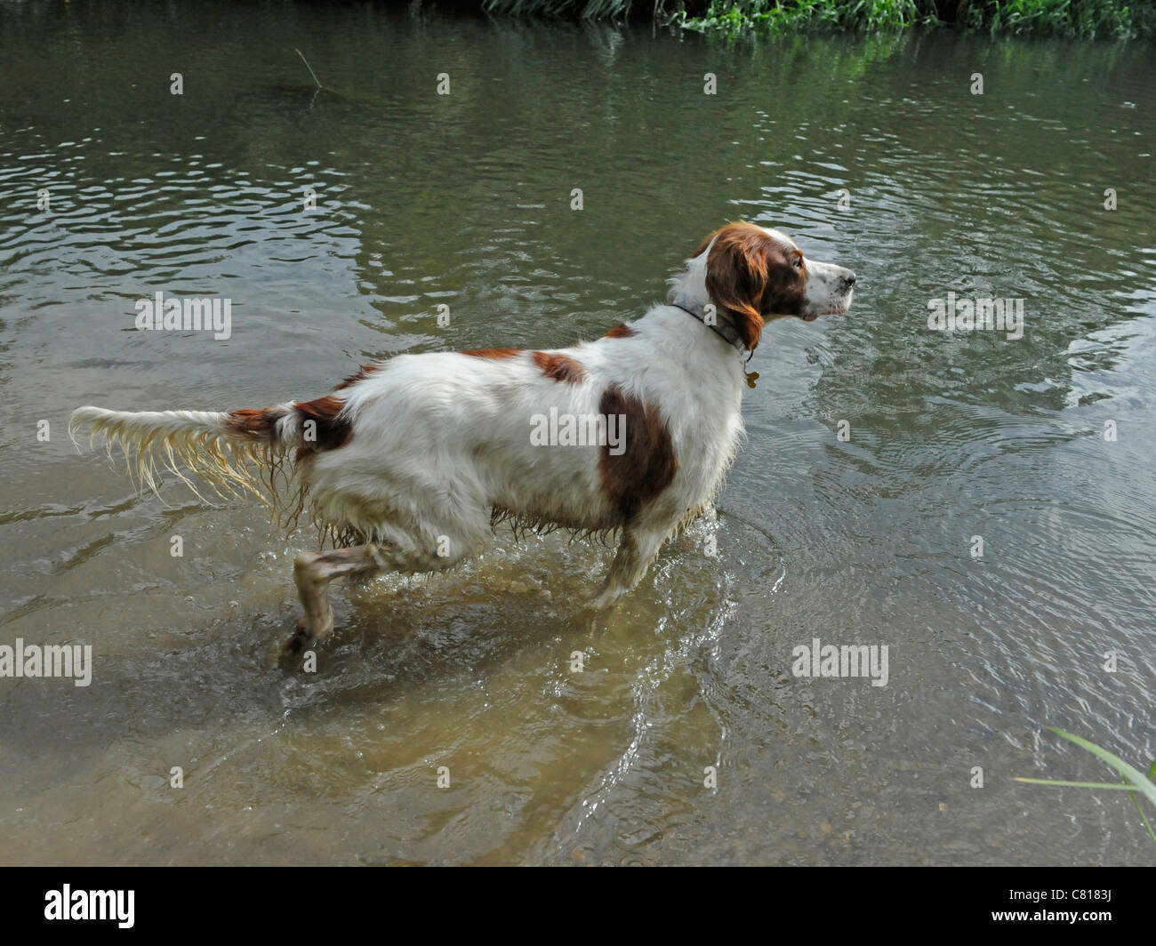 A red and white setter stalking in a river Stock Photo