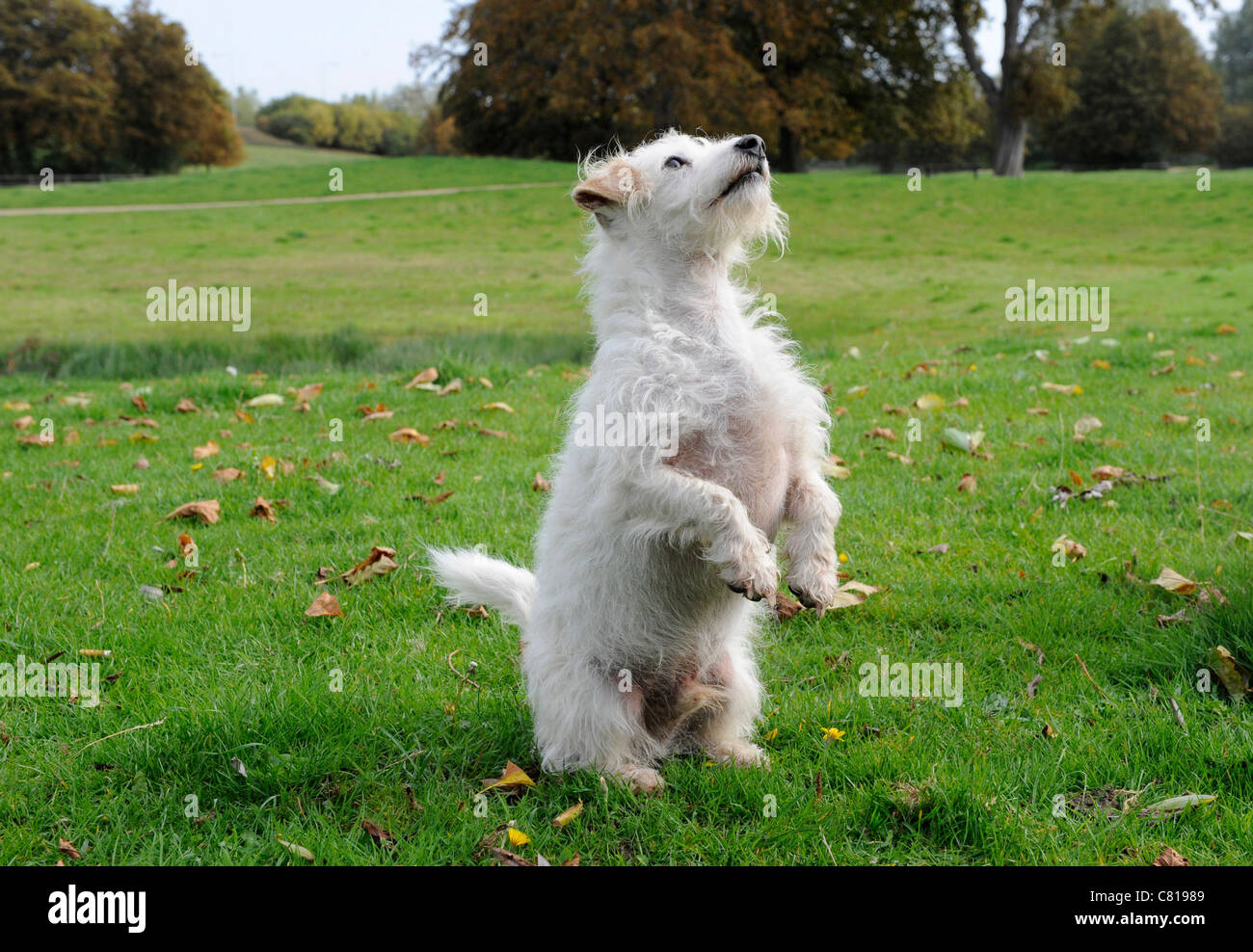 A small white old dog standing on two feet - Stock Image