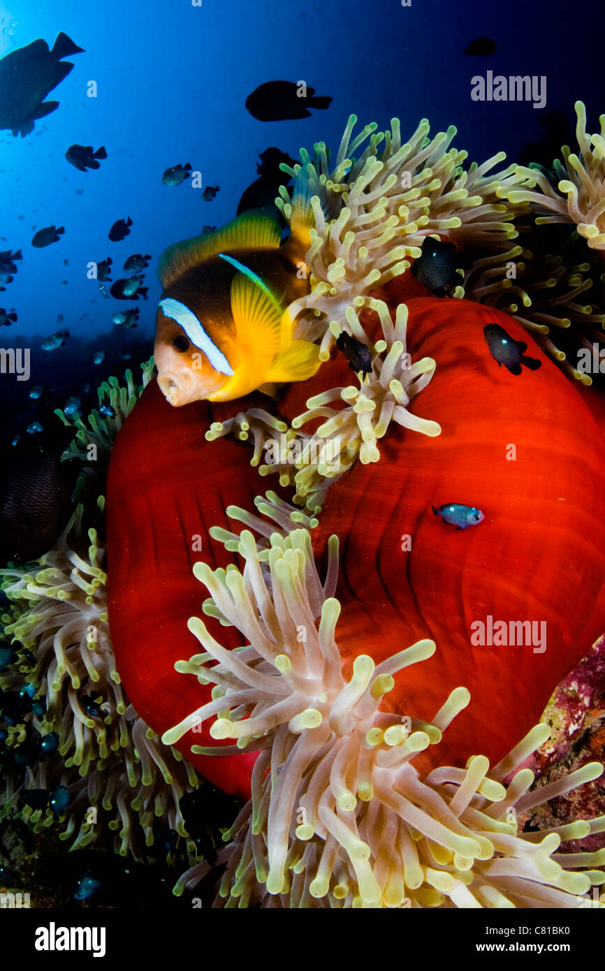 Scuba diving in the Red Sea, anemone, anemone fish, blue water ...