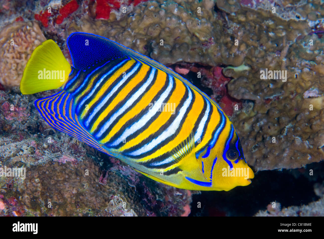 Maldives underwater sea life and fish angel fish coral for Reef tropical fish