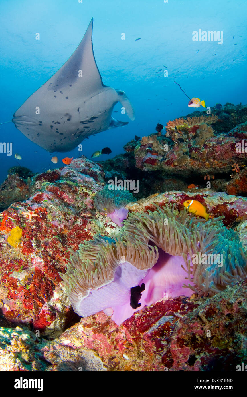 Manta Rays In Maldives, Underwater, Sea Life, Coral Reef