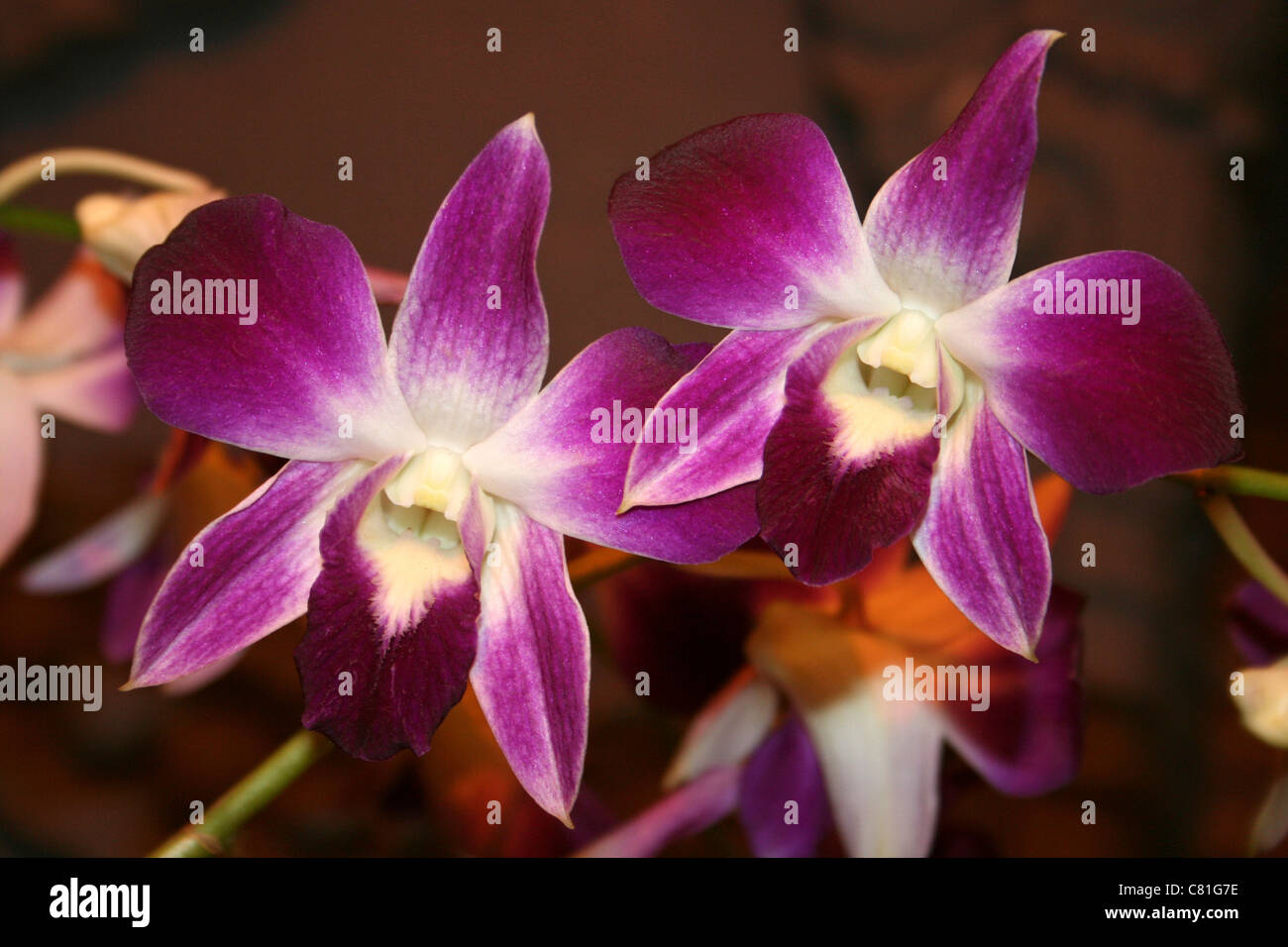 Tropical Orchids, Indonesia - Stock Image