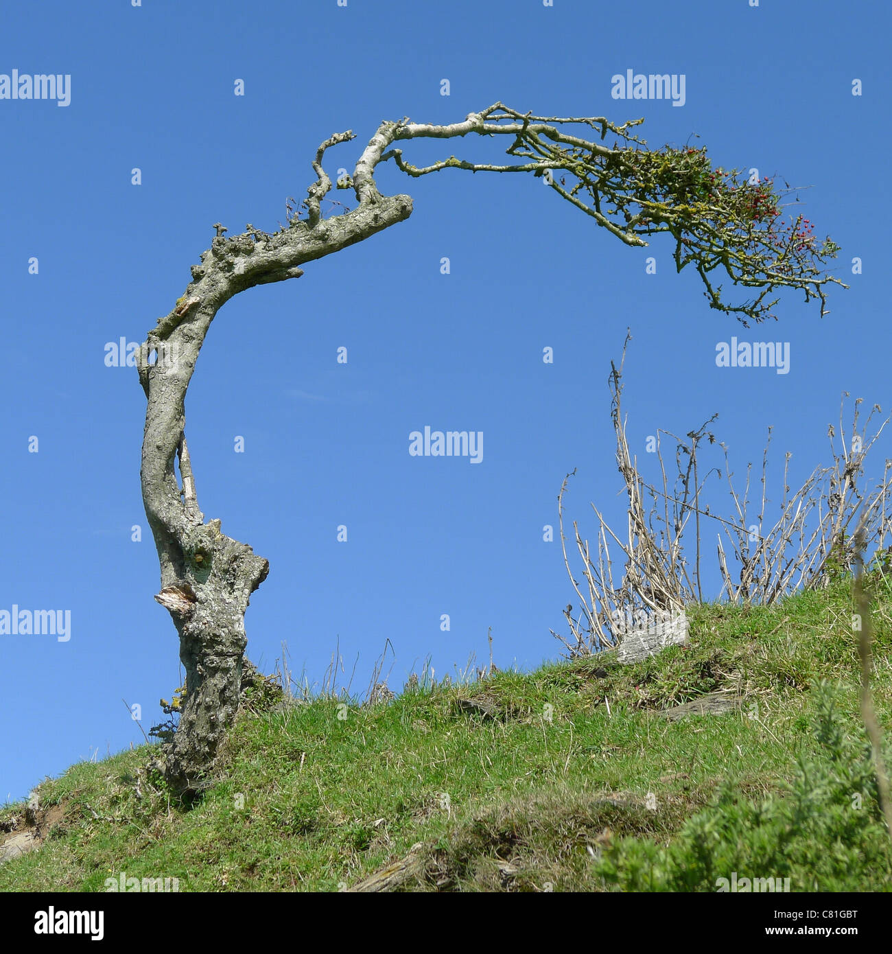 Prevailing Wind, South Devon - Stock Image