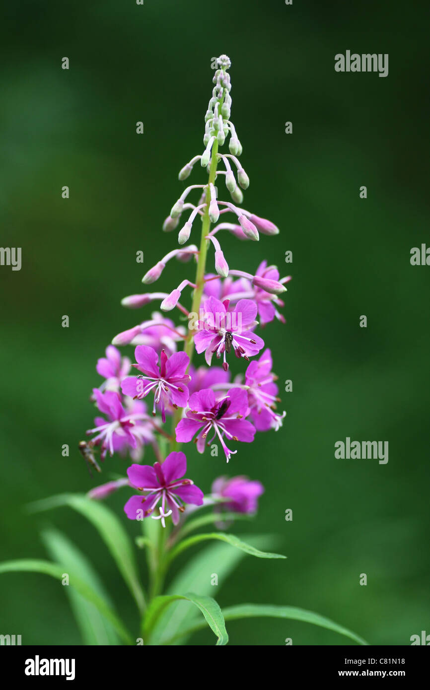 A Rosebay Willowherb flower (Epilobium angustifolium) commonly known as Fireweed,  isolated against a dark background - Stock Image