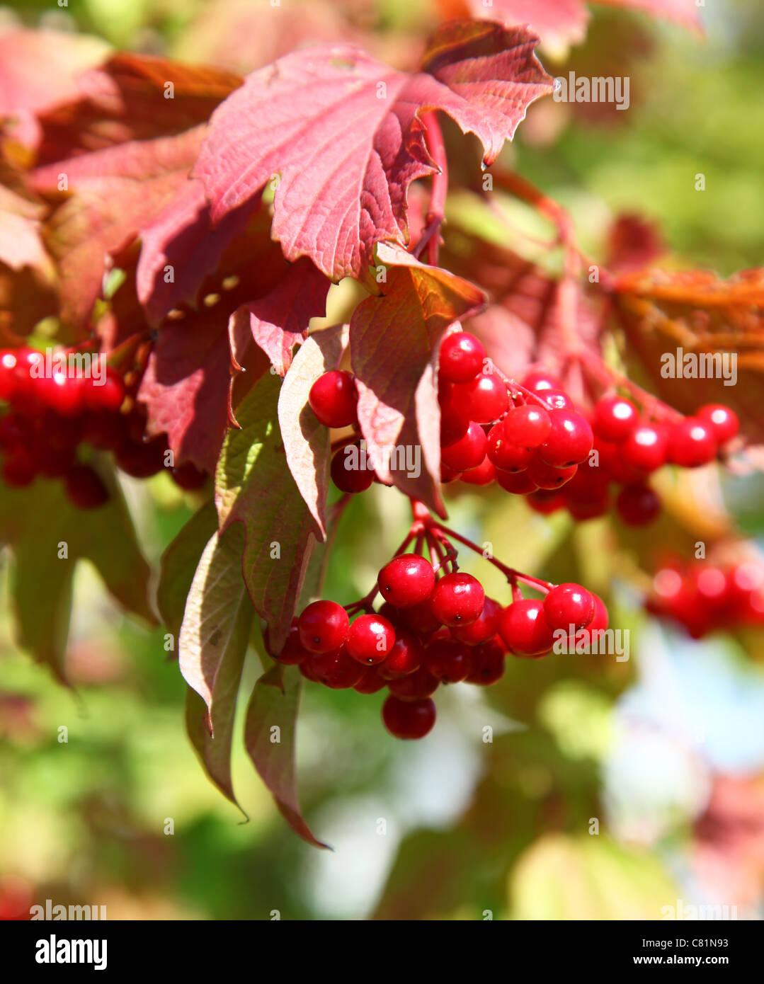 The red berries on a Viburnum bush or tree (Viburnum lantana) - Stock Image