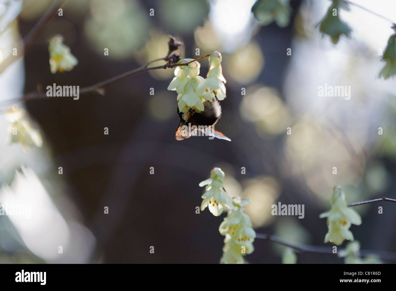 Close up image of blossom Corylopsis pauciflora in spring time with a bumblebee. - Stock Image