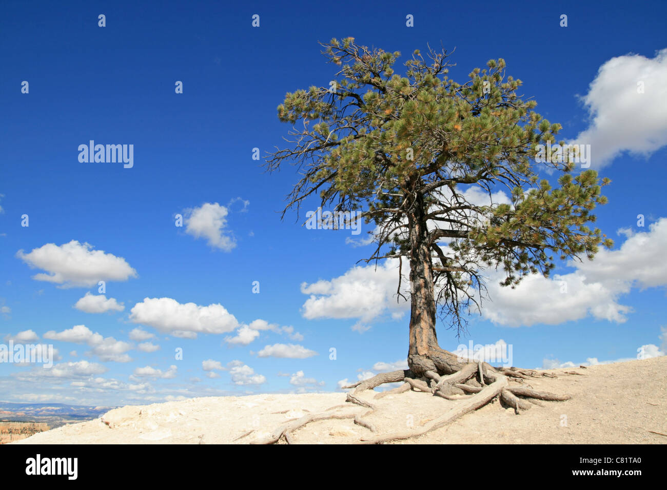 lone pine tree on the edge of a cliff with blue sky and clouds - Stock Image