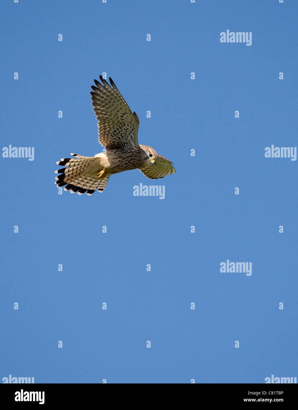 Common Kestrel female Falco tinnunculus hovering - Dorset UK - Stock Image