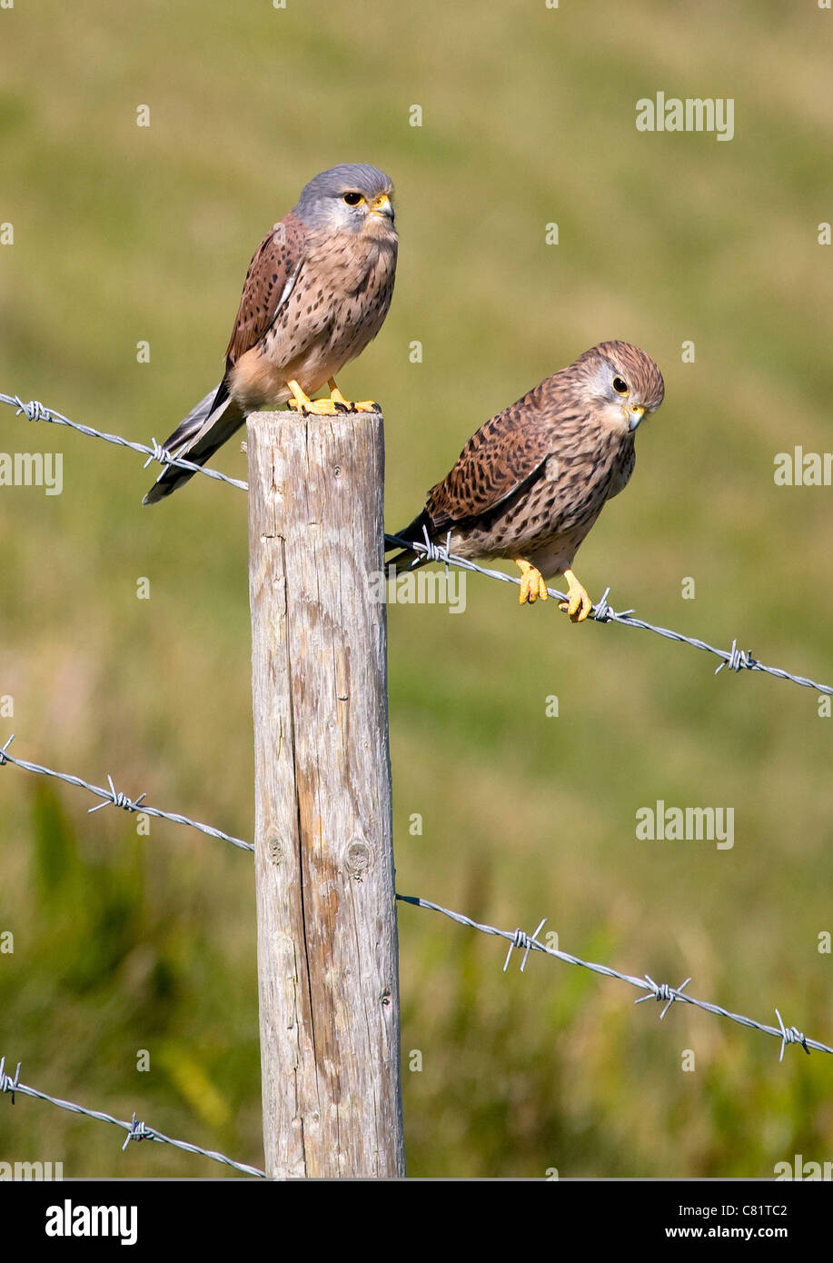 Pair of wild Common Kestrels posing on a barbed wire fence on the Dorset coast - Stock Image