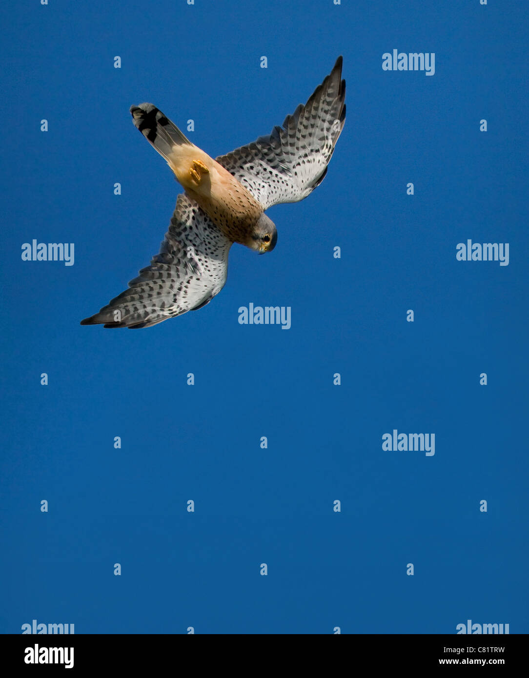 Male Common Kestrel Falco tinnunculus turning into a dive for prey - Dorset UK - Stock Image