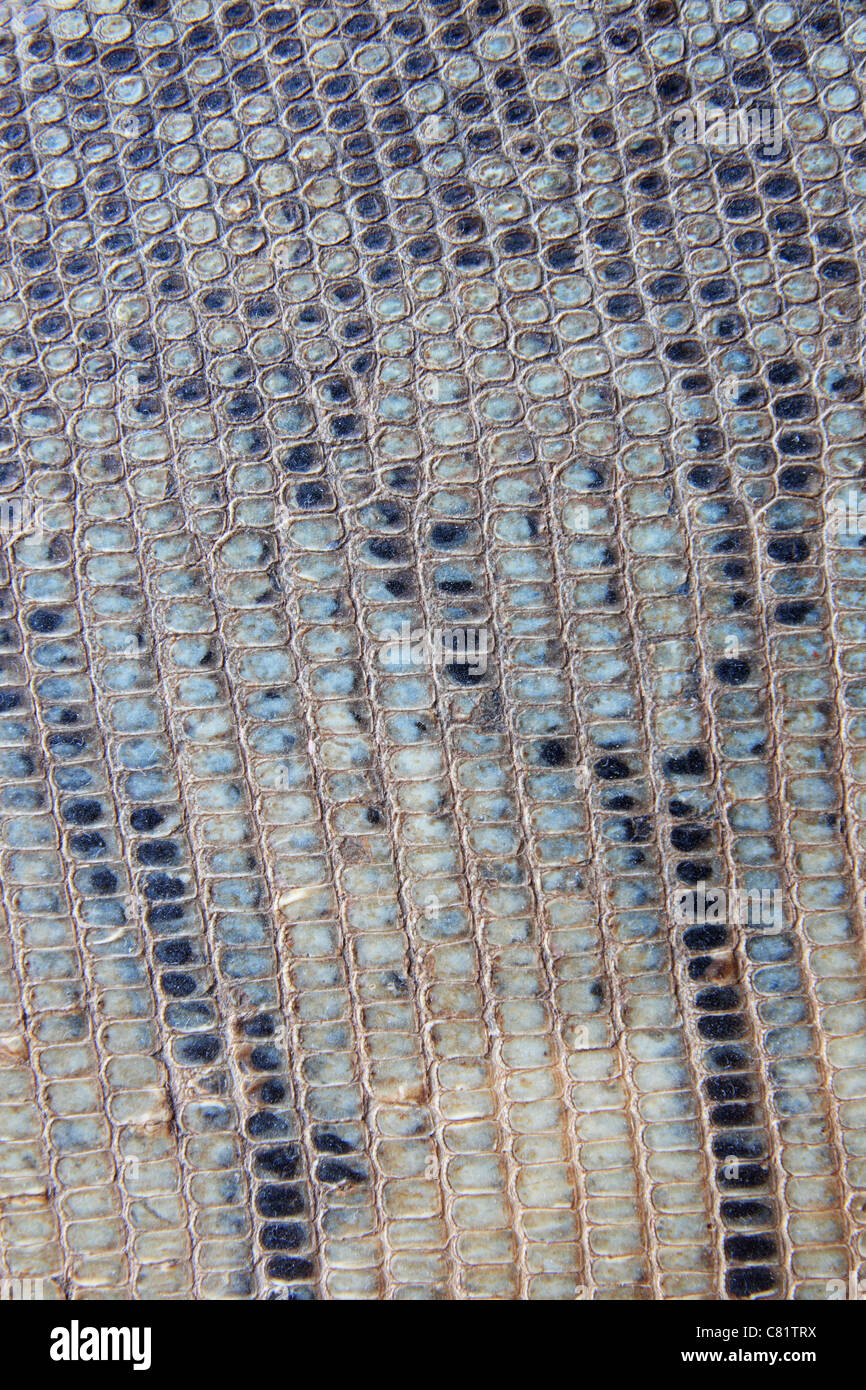 vertical image of old gray striped scaly snake skin background - Stock Image