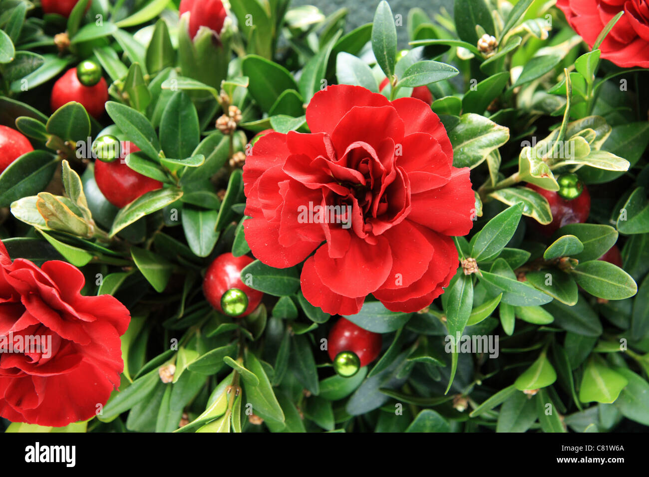 christmas red carnation, boxwood, and cranberry decoration detail - Stock Image