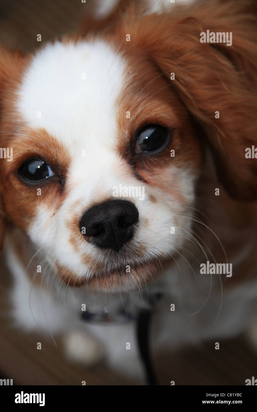 a picture of my cavalier king Charles spaniel brodie Stock Photo