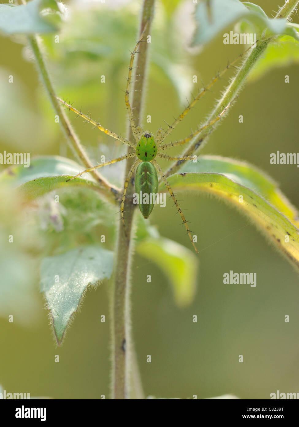 Green Lynx spider (Peucetia viridans) Stock Photo
