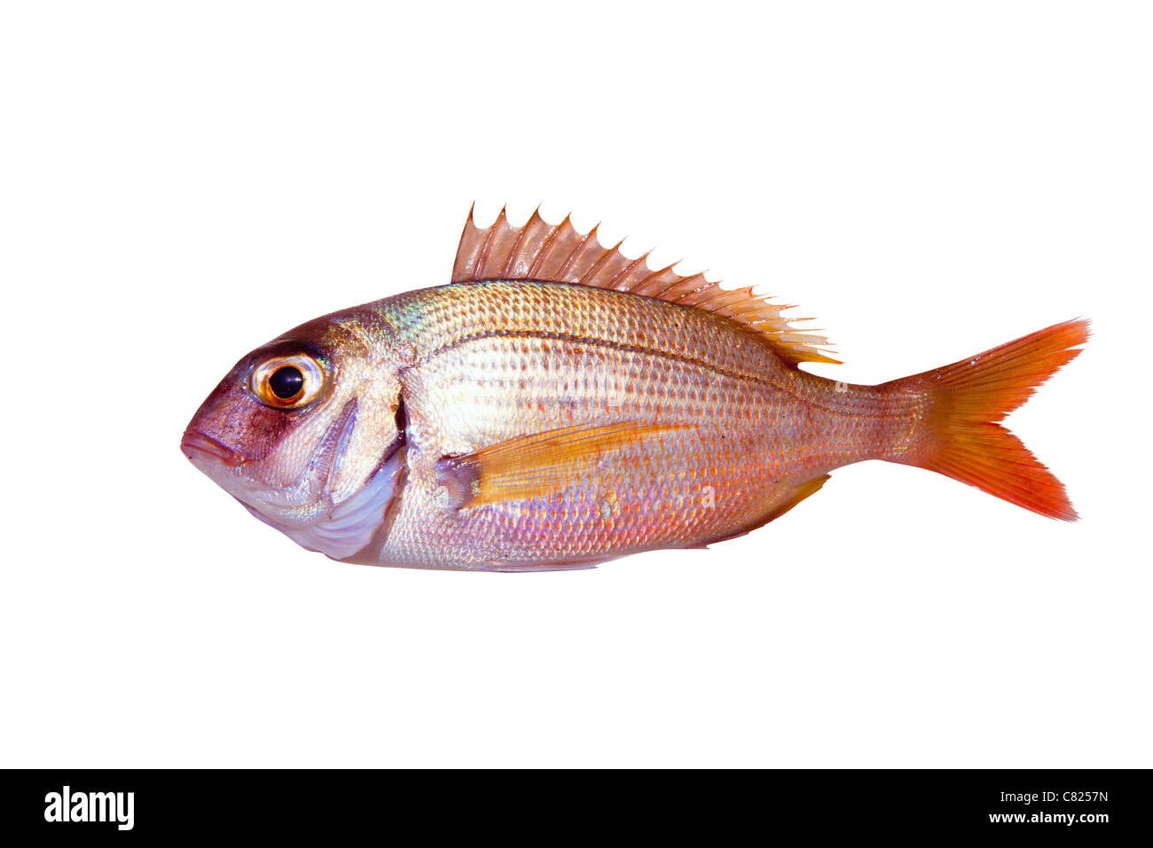 Common sea bream pagrus fish isolated on white - Stock Image