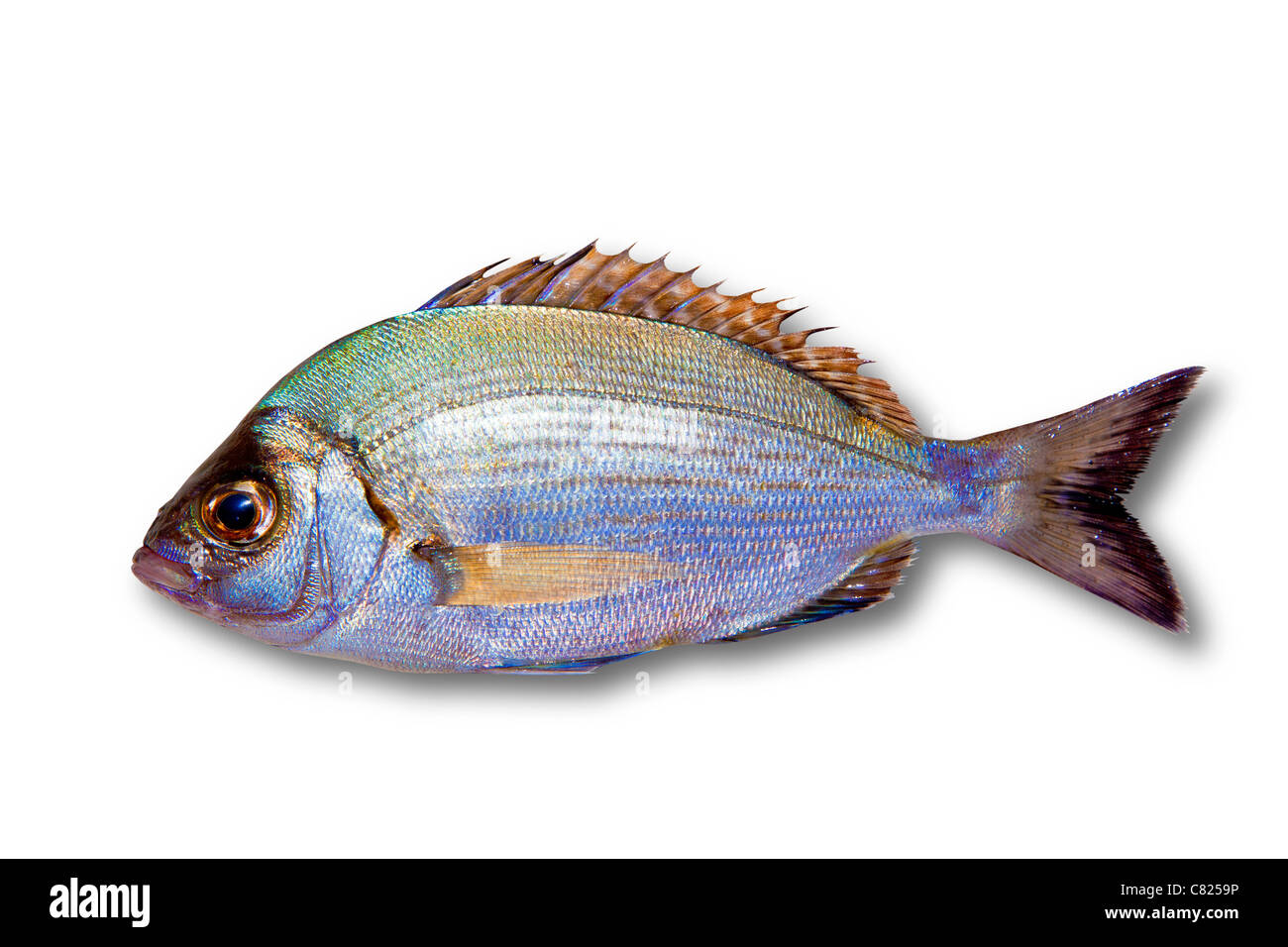 Diplodus sargus white sea bream isolated on white - Stock Image