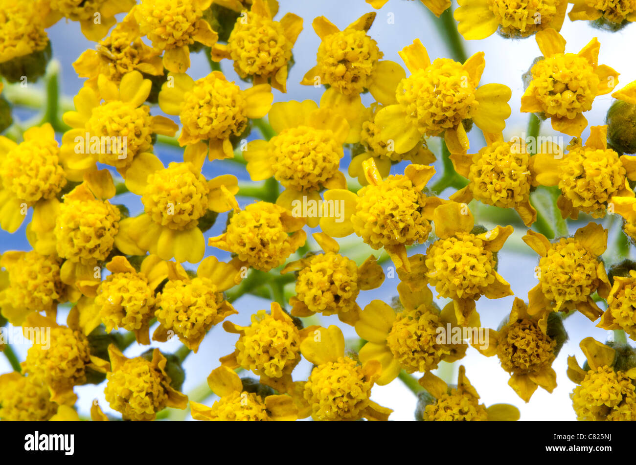 Yellow Desert Wild Flowers Stock Photos Yellow Desert Wild Flowers