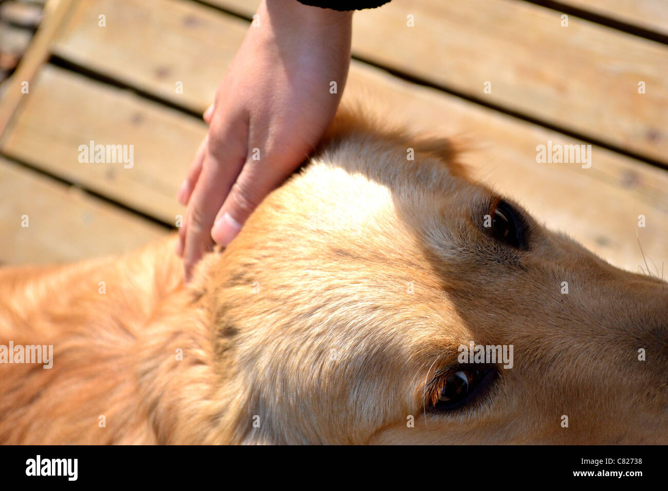 A cute golden retriever dog and it's owner bonding - Stock Image