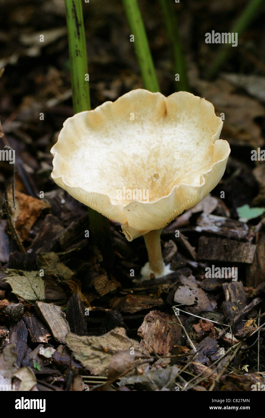 Common Funnel Fungus, Clitocybe gibba, Tricholomataceae. - Stock Image