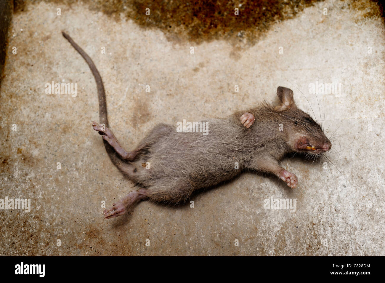 rat die on ground - Stock Image