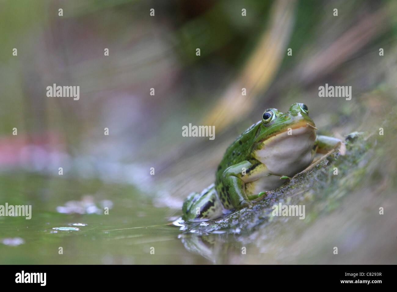 Waterfrog (Rana esculenta). Europe - Stock Image