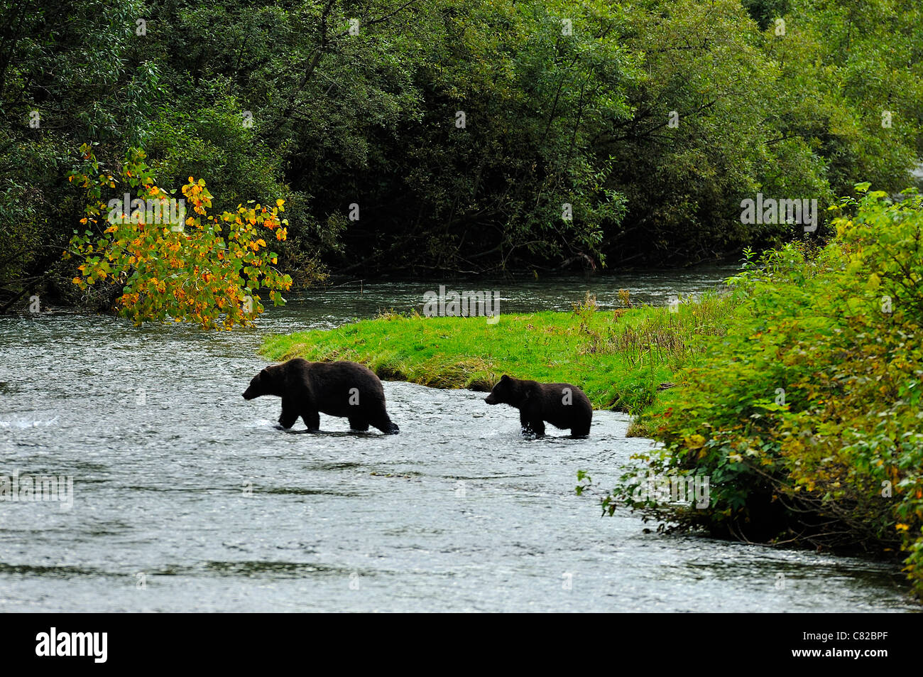 Two grizzly bears walking out into the stream - Stock Image