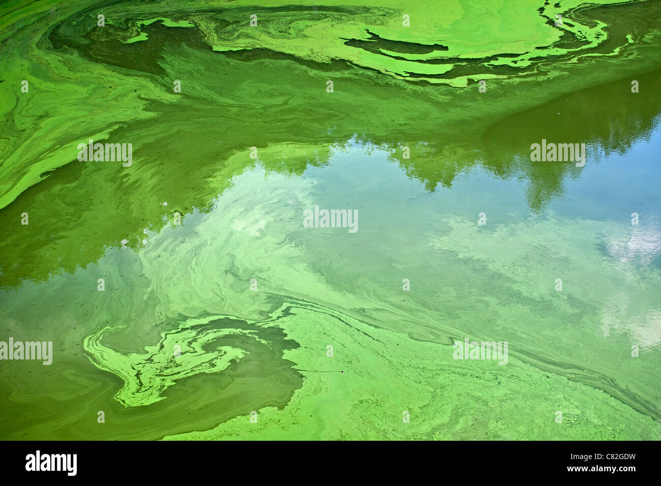 Cyanobacteria or 'blue-green' algae, which develop at the surface of a slow flow river, in the Summer (Puy - Stock Image