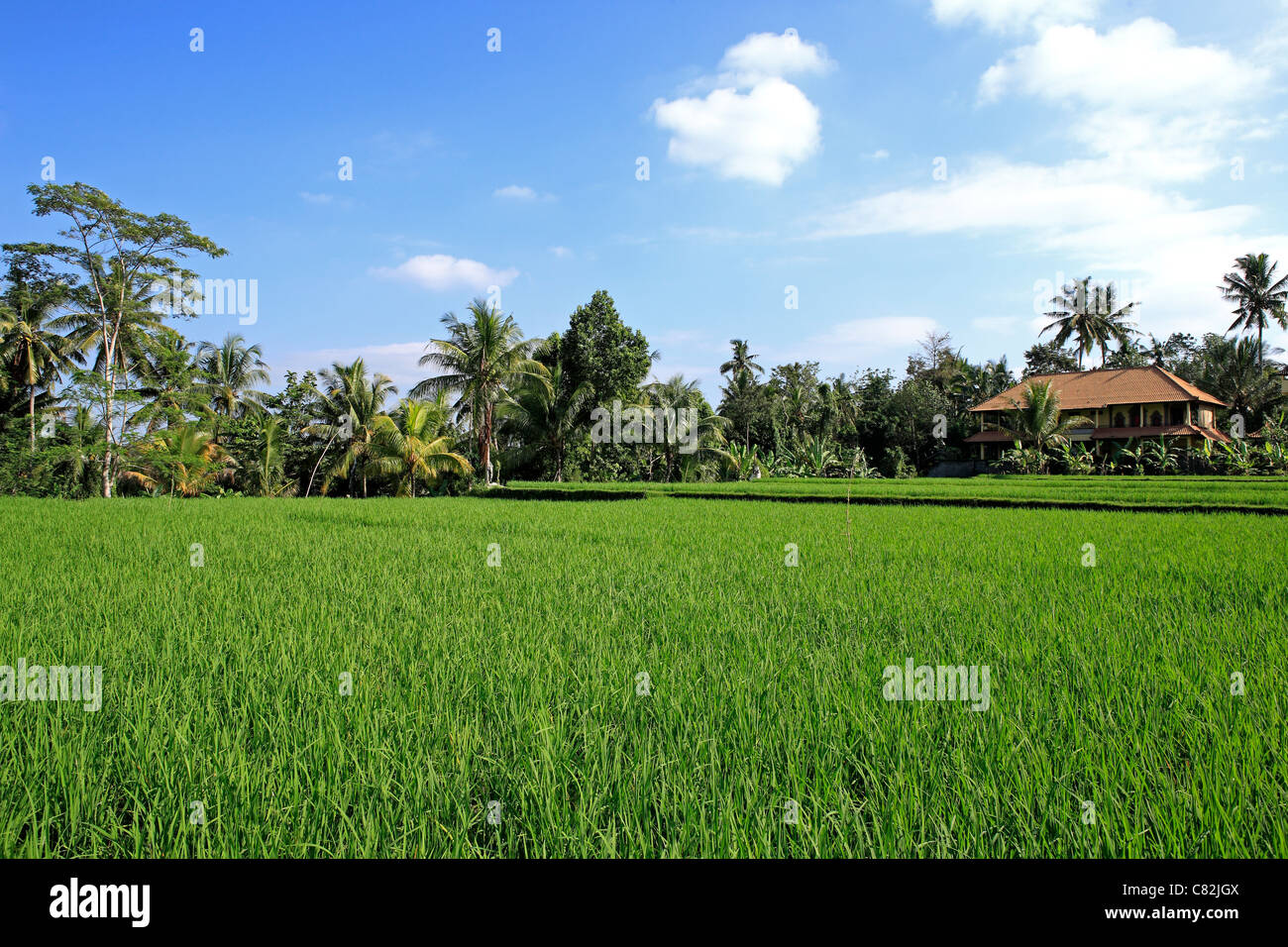 A lush green rice paddy with a Balinese house. Ubud, Bali, Indonesia - Stock Image