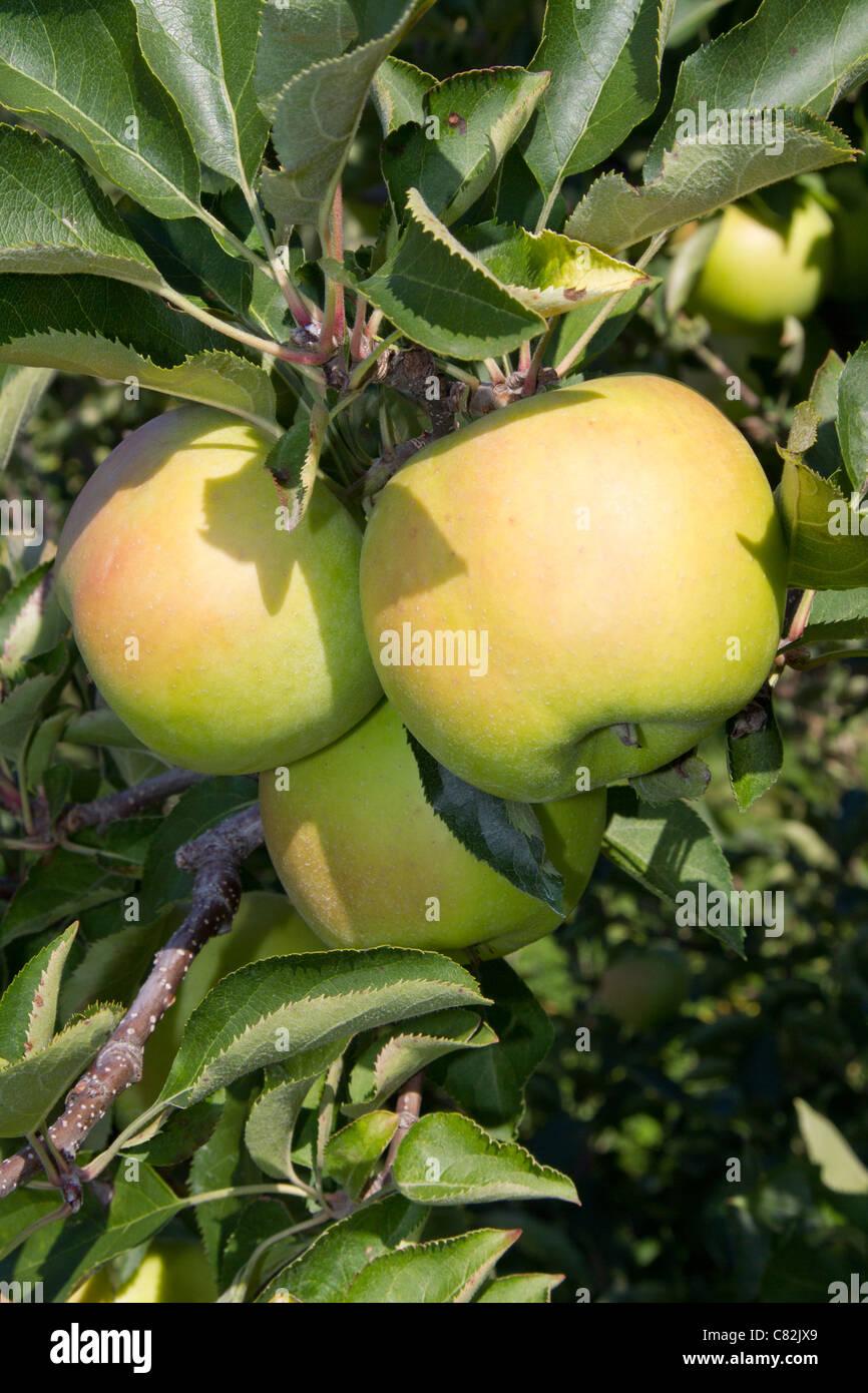 apple apples fruit healthy vitamins tree - Stock Image