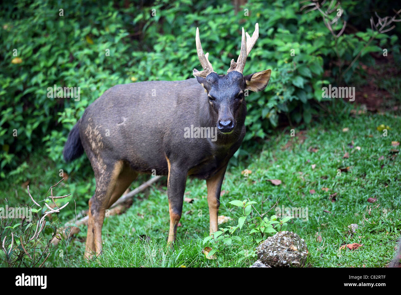 Sambar deer at Melaka zoo. - Stock Image