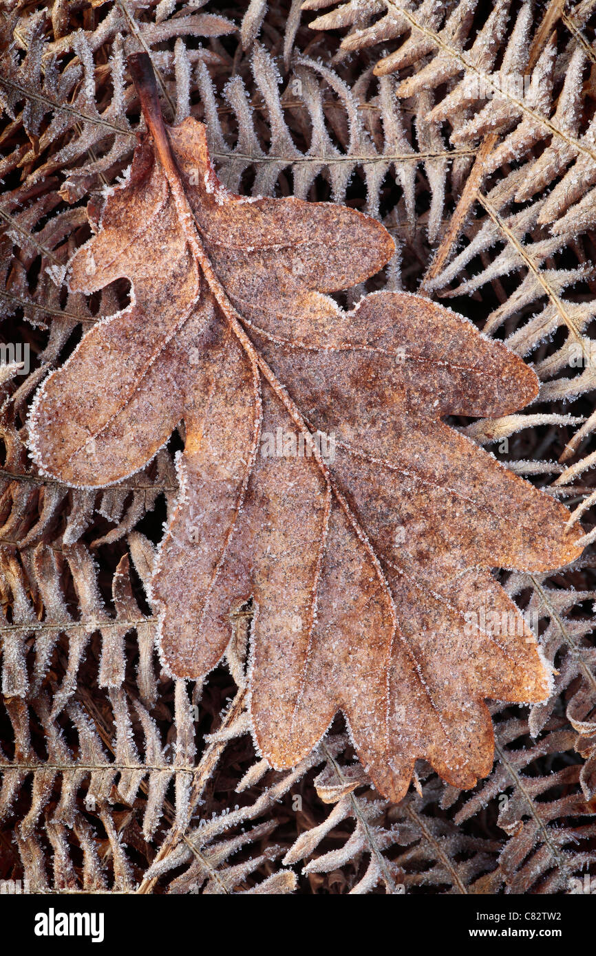 Close up of a frost covered leaf near Blubberhouses in Yorkshire, England Stock Photo