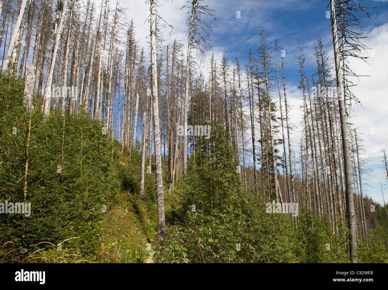 Norway spruce damaged by bark beetle. - Stock Image