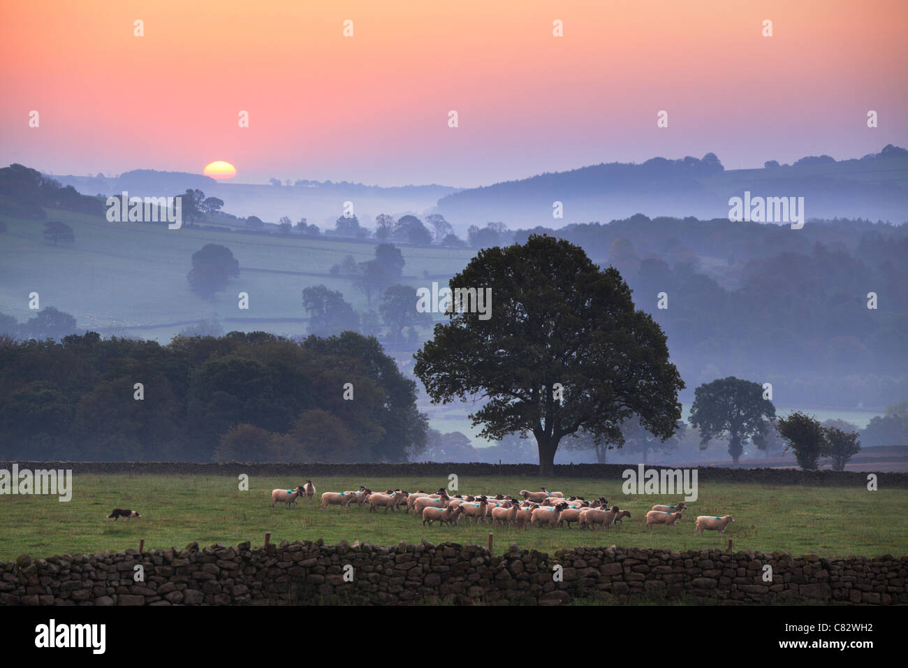 Yorkshire sheep gather ras the sun breaks over a mist shrouded Nidderdale Valley as seen from Dacre, Yorkshire, - Stock Image