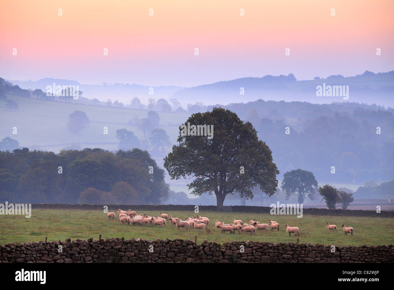 Yorkshire sheep on a misty morning in Nidderdale as seen from Dacre, Yorkshire, England - Stock Image