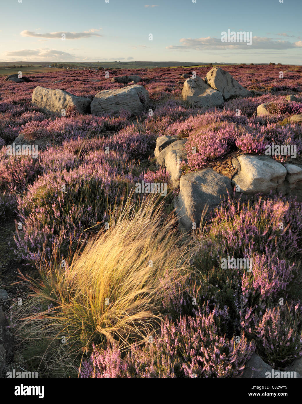 Bright purple heather covers the hills surrounding Thruscross Reservoir during late summer months. - Stock Image