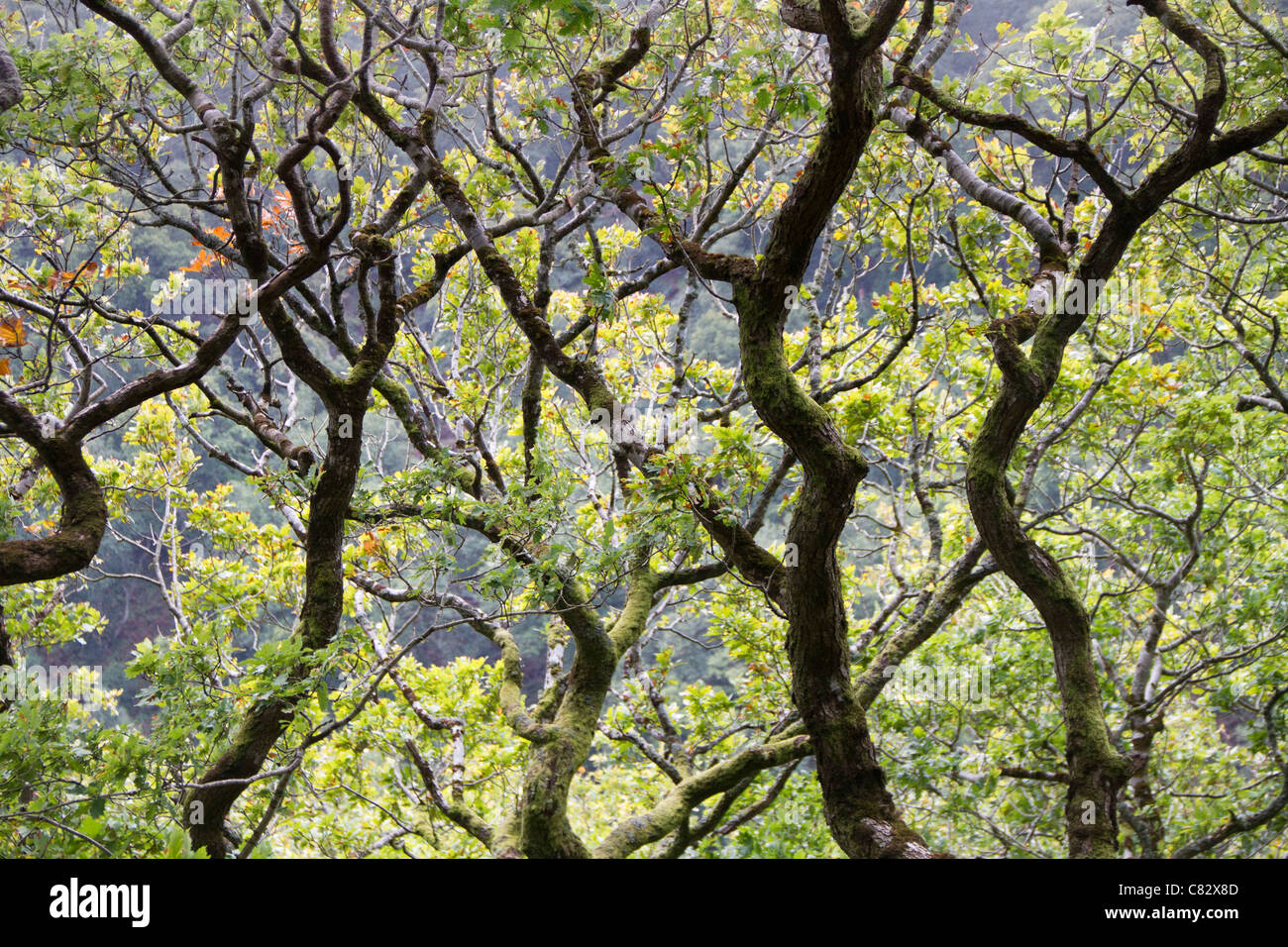 Branches of an oak tree. - Stock Image