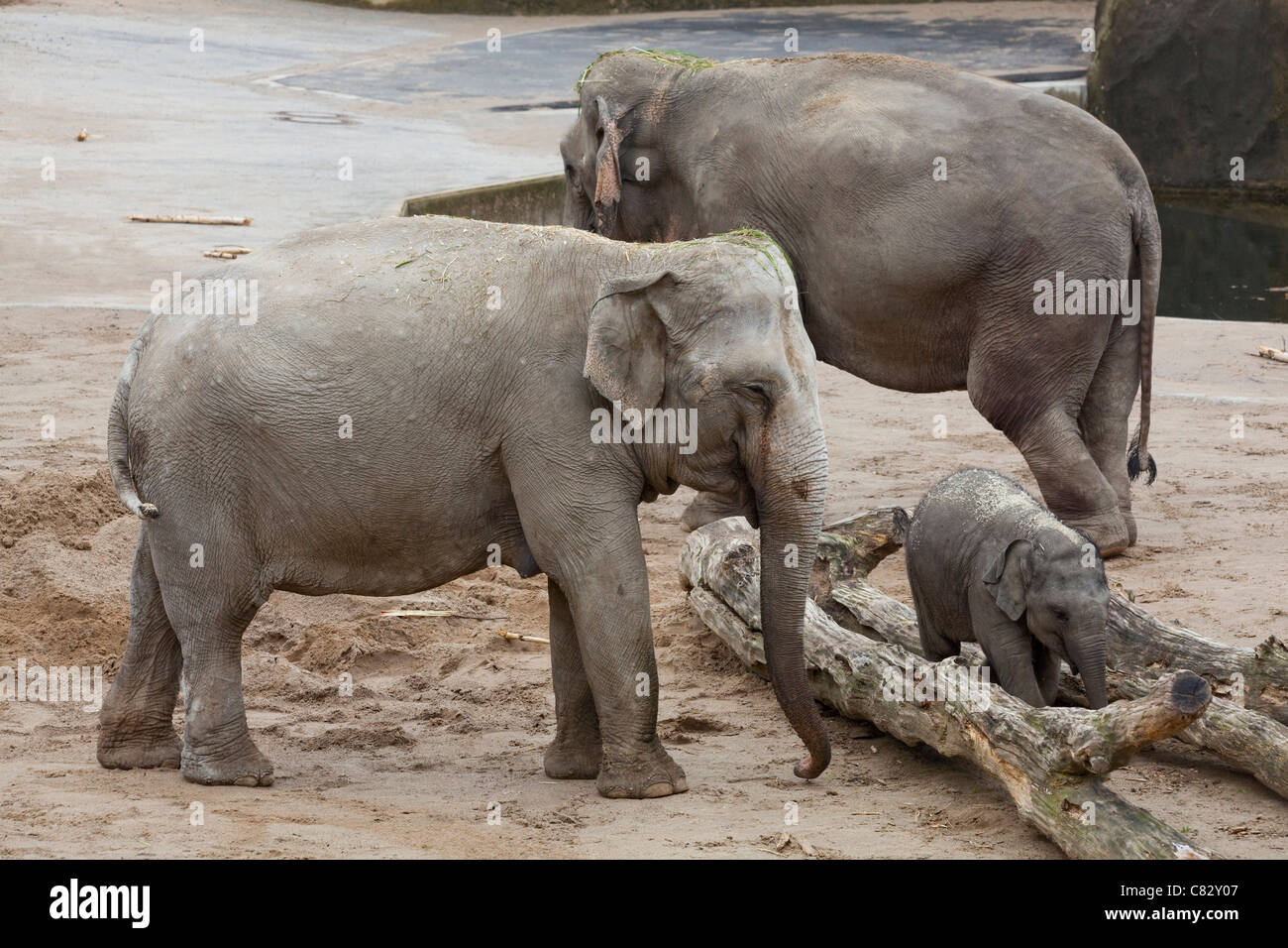 Asian or Indian Elephants (Elephas maximus). Cows, calf, finding keeper hidden food amongst tree logs. Environmental - Stock Image