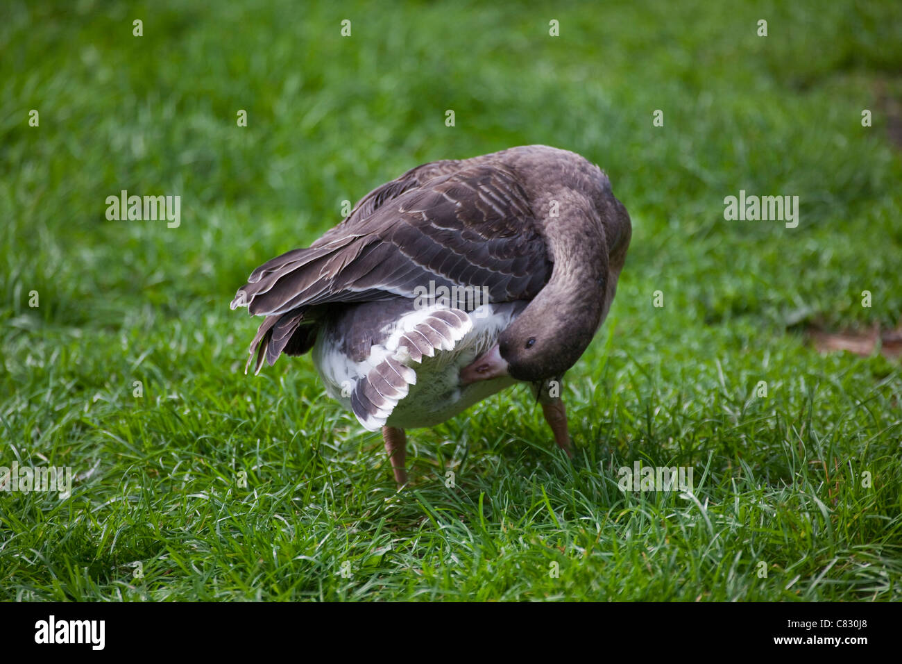 white fronted goose anser albifrons immature or bird in first