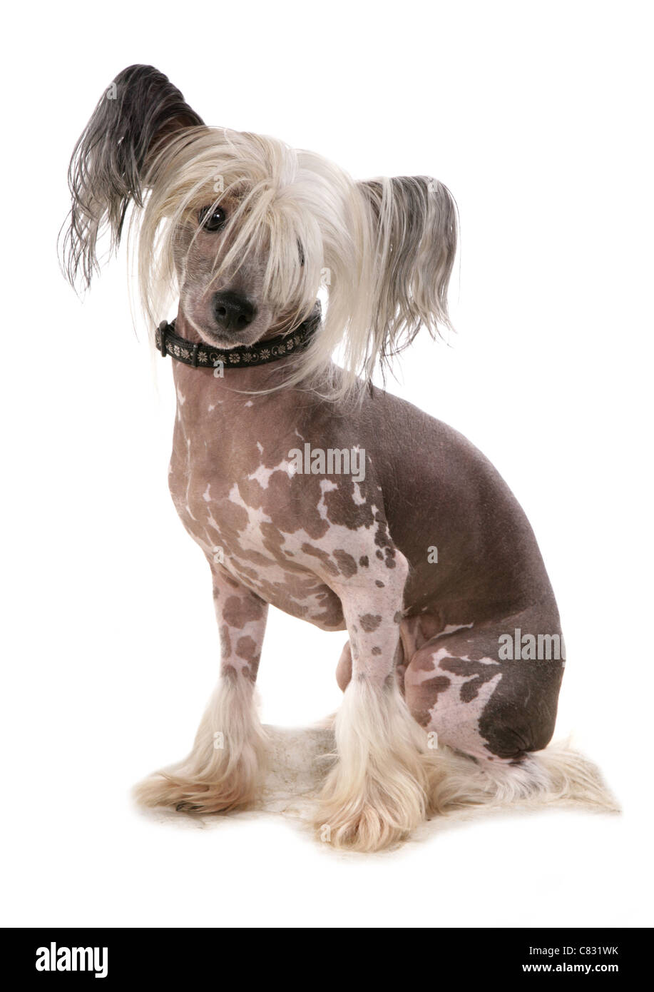 Chinese crested Single adult in a studio UK - Stock Image